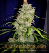 cannabiogen destroyer Secure at Just Feminized Seeds UK